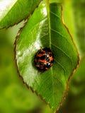 Scarabeo di Ladybird sulla foglia rosa 2 Fotografie Stock Libere da Diritti