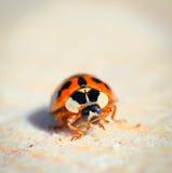 Scarabeo di Ladybird sullo sfondo naturale di legno Immagini Stock Libere da Diritti