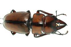 Scarabeo di maschio dell'insetto Fotografia Stock