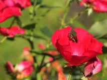 Scarabeo e fiore Immagine Stock Libera da Diritti