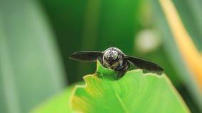 Scarabeo gigante sulla diffusione delle ali della foglia Immagine Stock