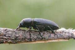 Scarabeo Longicorn nero sul ramoscello in prato Immagini Stock