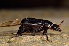 Scarabeo nero del sacrestano (humator di Nicrophorus) con gli acari phoretic Fotografie Stock Libere da Diritti