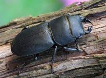 Scarabeo nero (parallelipipedus di Dorcus) Fotografie Stock Libere da Diritti