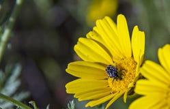 Scarabeo nero sul wildflower giallo della margherita Immagine Stock Libera da Diritti