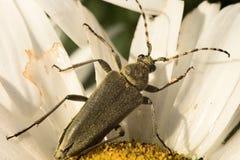 Scarabeo Phyllobius sulla camomilla fotografie stock libere da diritti