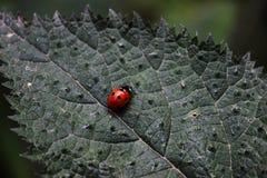 Scarabeo rosso con i punti neri Immagine Stock