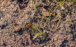 Scarabeo rosso con il pyrrhocoris apterus latino di nome, macro fotografia stock
