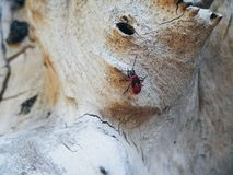 scarabeo rosso sulla struttura di un albero Immagini Stock Libere da Diritti