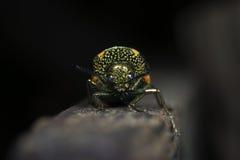 Scarabeo, scarabeo bello, scarabeo della Tailandia immagini stock libere da diritti