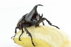 Scarabeo, scarabeo rinoceronte, scarabeo di rinoceronte, scarabeo di Ercole, scarabeo dell'unicorno, scarabeo di Horn (Dynastinae Immagine Stock