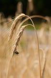 Scarabeo su grano Immagine Stock