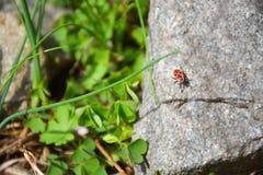 Scarabeo su un nasikomikoe di pietra della fauna selvatica delle piante verdi fotografia stock