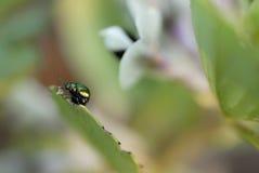 Scarabeo verde che mangia il foglio della fava Fotografia Stock