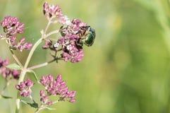 Scarabeo verde del rinforzo rosa sui fiori porpora di origano fotografie stock