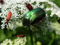 Scarabeo verde ed insetti rossi su un fiore bianco Fotografia Stock