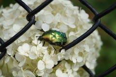 Scarabeo verde nel centro dell'immagine che si siede sui fiori bianchi Fotografie Stock Libere da Diritti