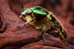 Scarabeus (Cetonia aurata) zamyka up Fotografia Royalty Free