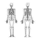Scarabocchi di tiraggio della mano di vettore dell'illustrazione dello scheletro umano dal royalty illustrazione gratis