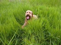 Scarabocchio dorato in erba alta fotografia stock