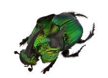 Scarabs do arco-íris - demónio de Phanaeus foto de stock royalty free