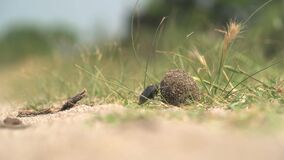 Scarab Beetle Rolling a Ball of Dung