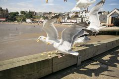 Scarborough Seagulls, North Yorkshire, England, United Kingdom. Scarborough Seagulls, Feeding North Yorkshire, England, United Kingdom, August 2018 stock images