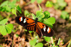 Scarce bamboo page. Tropical butterfly dido longwing on the green leaf Royalty Free Stock Photos