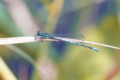 Scarce blue tailed damselfly. On the grass - close up macro photo Stock Photography