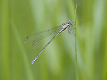 Scarce blue-tailed damselfly, Ischnura pumilio Stock Image