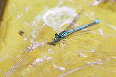 Scarce blue tailed damselfly on the yellow leaf. Close up macro royalty free stock photos