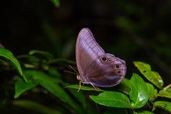Scarce Catseye butterfly Stock Photography