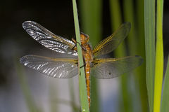 The Scarce Chaser Royalty Free Stock Photography
