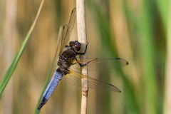Scarce chaser Royalty Free Stock Images