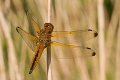 Scarce chaser. The scarce chaser is warming up Stock Photo