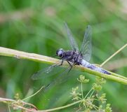 Scarce Chaser Blue Dragonfly From The Side stock photography