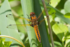 A Scarce Chaser dragonfly. Royalty Free Stock Photo
