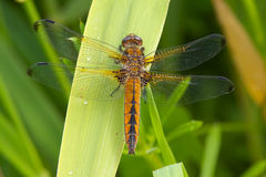 Scarce Chaser dragonfly on a leaf. Royalty Free Stock Photos
