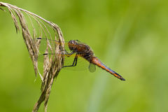 A Scarce Chaser dragonfly. Royalty Free Stock Images