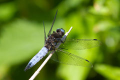 Scarce Chaser Dragonfly resting on a stem. A Male Scarce Chaser dragonfly, Libellula fulva resting on a plant stem in the morning sun Stock Photo