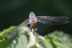 Scarce chaser - front view Stock Images