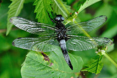 Scarce-chaser Stock Photography