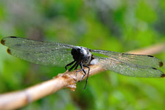 Scarce-chaser Royalty Free Stock Image