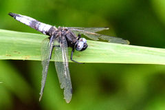Scarce chaser (Libellula fulva). Rare worn male dragonfly in the family Libellulidae, at rest on grass at Woodwalton Fen National Nature Reserve in the UK Royalty Free Stock Photo
