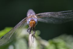 Scarce chaser - macro - front view Royalty Free Stock Photos