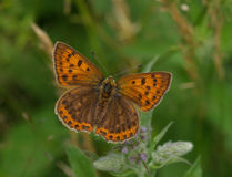 Scarce Copper butterfly Stock Images