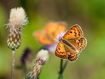 Scarce Copper Butterfly Royalty Free Stock Image