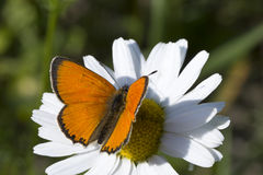 Scarce Copper butterfly on Oxeye Daisy Stock Image
