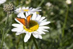 Scarce Copper butterfly on Oxeye Daisy. Close up royalty free stock photography