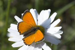 Scarce Copper butterfly on Oxeye Daisy Royalty Free Stock Photo
